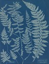 Ferns by Anna Atkins