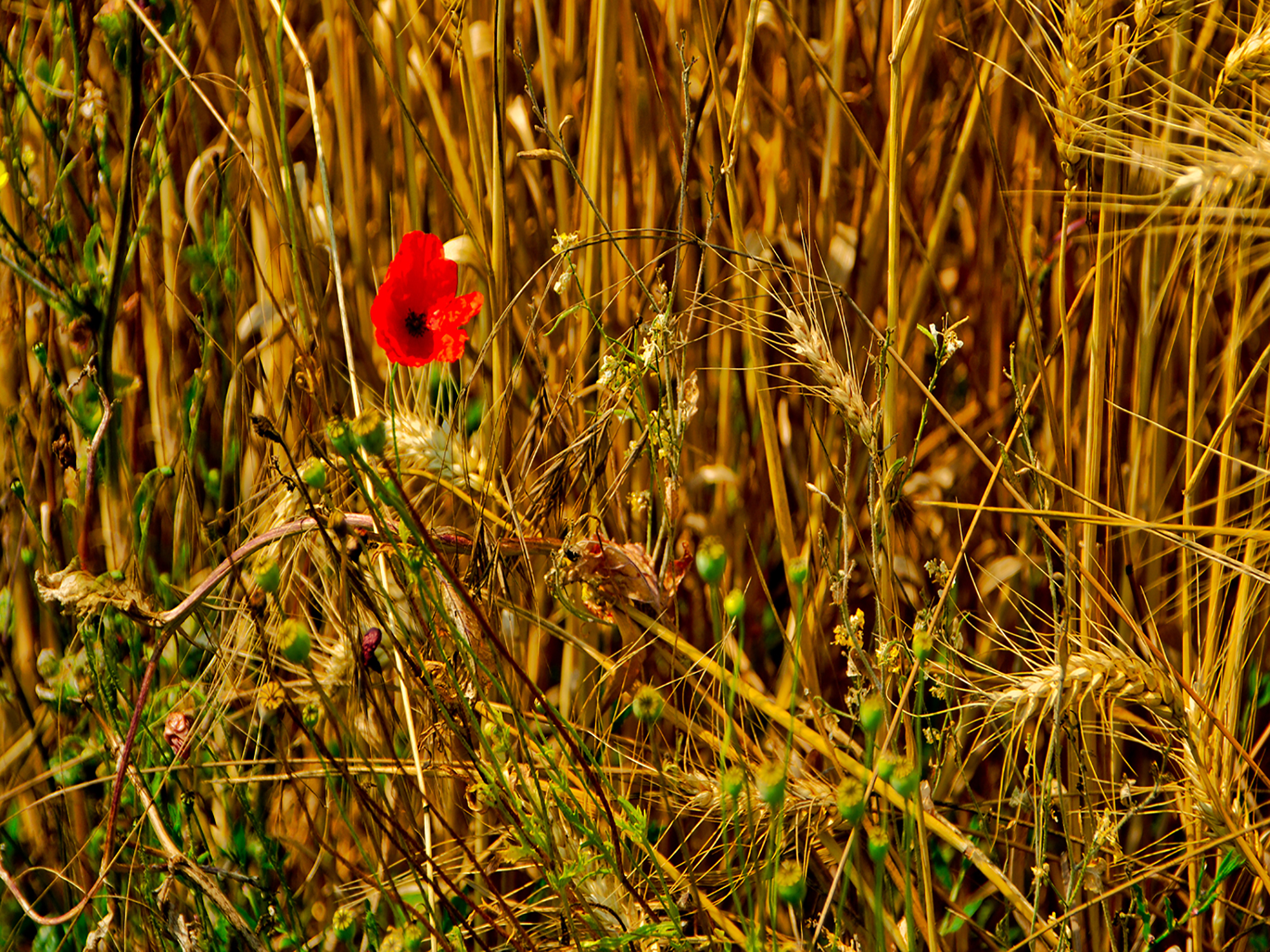 Poppy in Corn By Peter Fortune