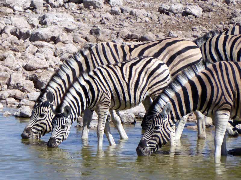 800P1100980etosha Zebra