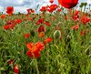Amongst the Poppies