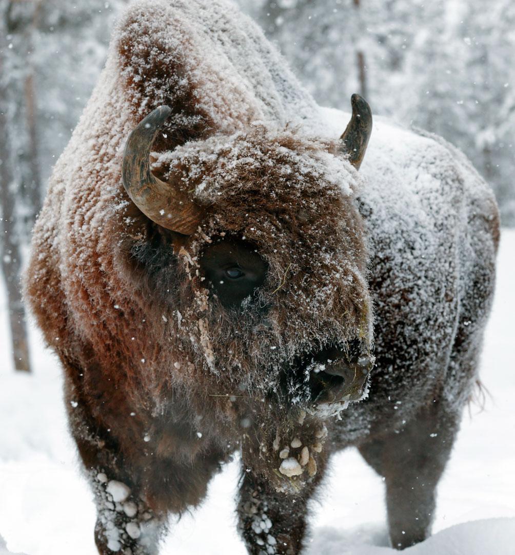Musk Ox Lycksele Animal Park