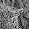 Female Leopard By Cathy Withers Clarke (South Africa)