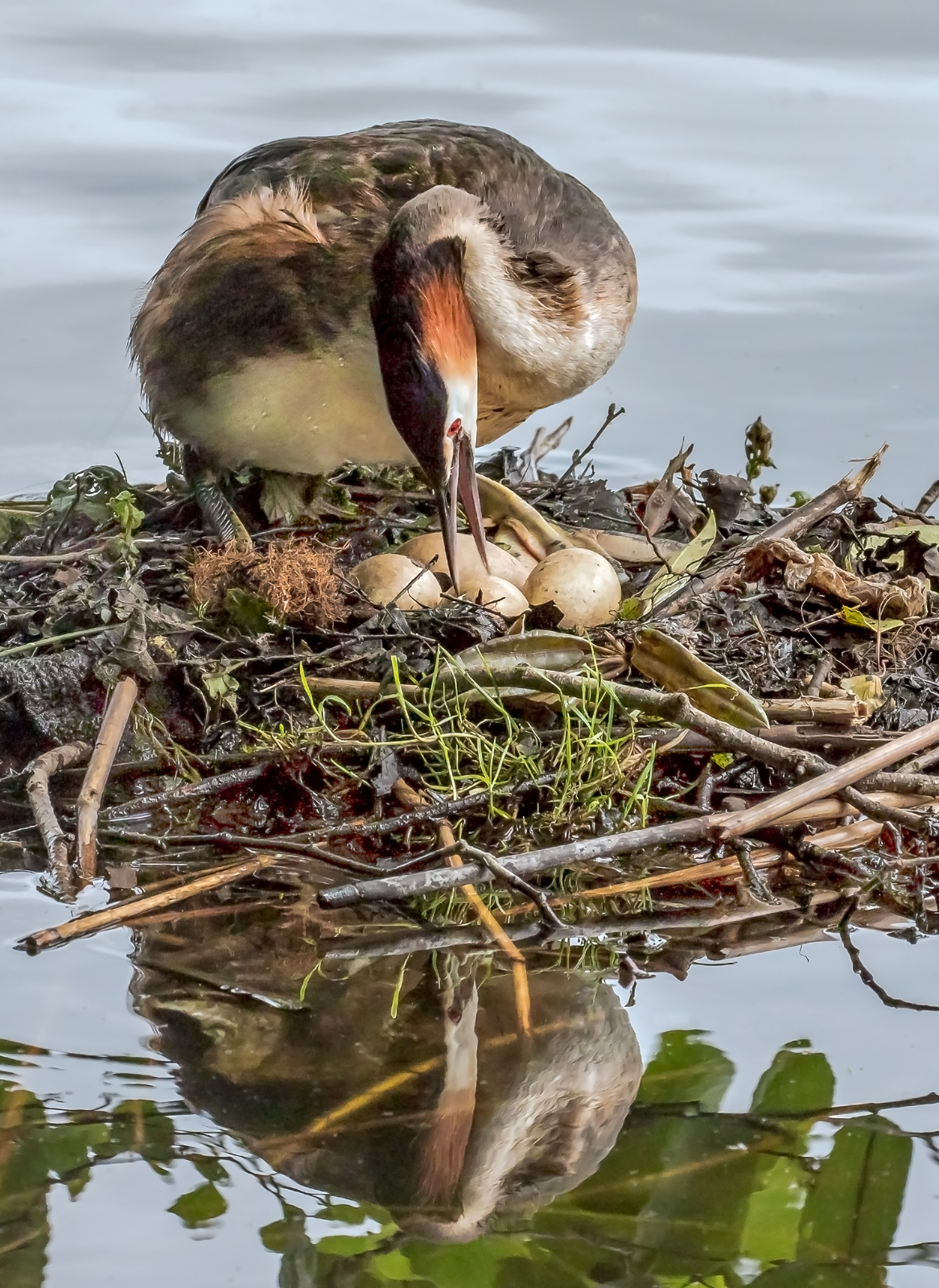9 Grebes With Eggs 2