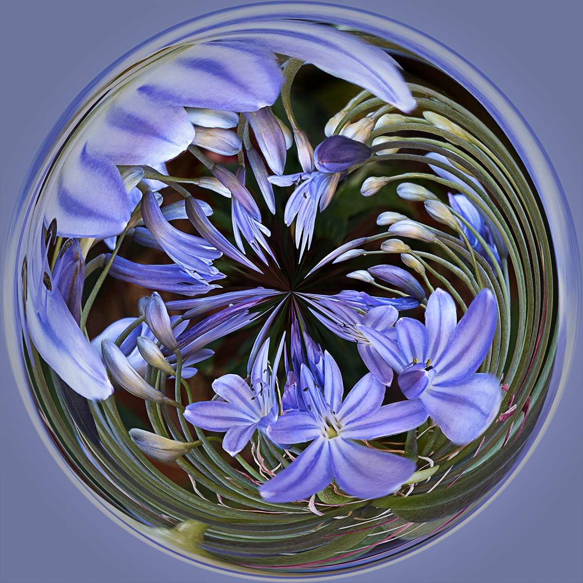 Agapanthus Orb By John Bishop